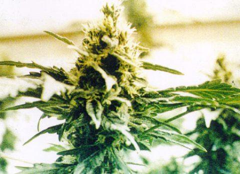 Ohio Marijuana Legalization Didn't Truly Fail, Crony Capitalism Lost