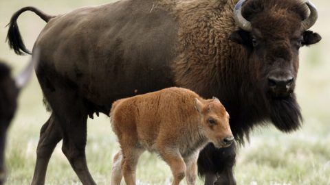 How the Free Market Saved the Bison