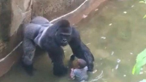 "One Year Later: Remembering Harambe and the Danger of the ""Entitled Breeder"" Mentality"